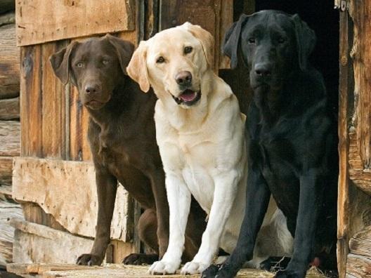 I tre Labrador