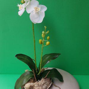 Bush Pianta Orchidea