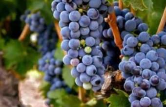 Il vino e la vendemmia
