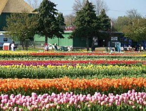 The tulips are in bloom right now in Holland, Michigan