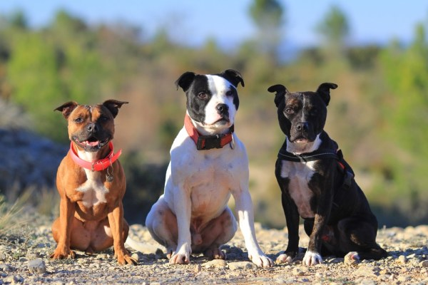 3 Staffordshire Bull Terriers of different colours