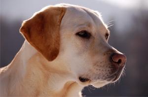 10 most popular dog breeds