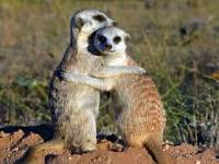 meerkats, animals, africa