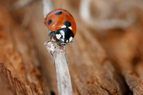 Ladybird on a twig