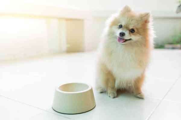 Pomeranian dog next to empty food bowl