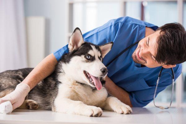 Vet with husky dog