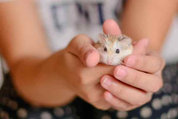 Pet hamster in a childs hands