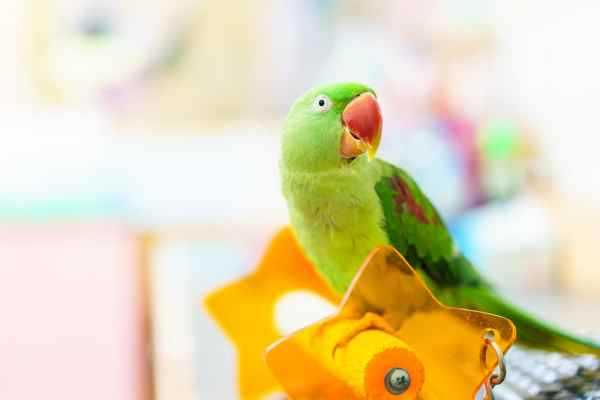 Pet Parakeet on a star perch