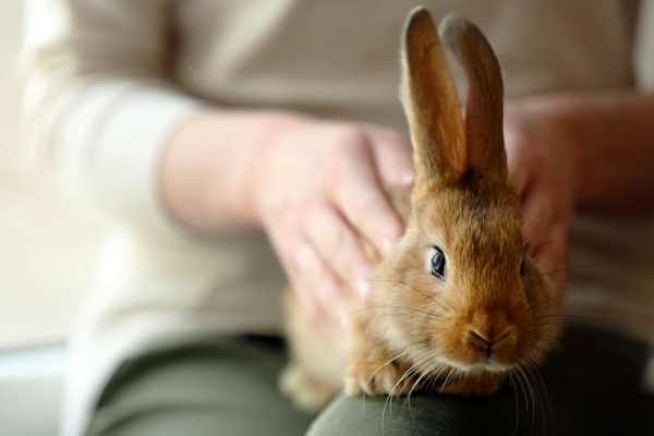 Pet rabbit in womans lap