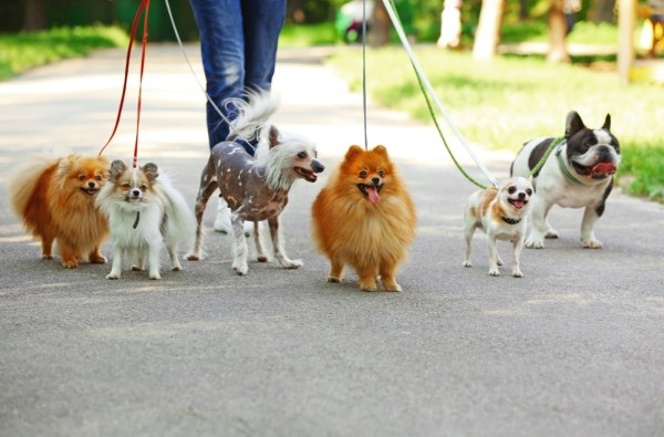 Lots of dogs walking on leads