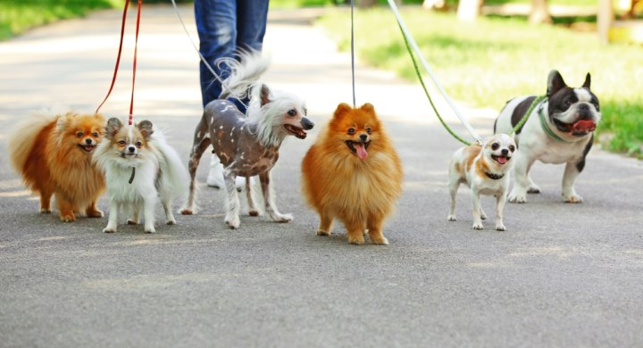 Become a dog walker and let your dog make lots of friends