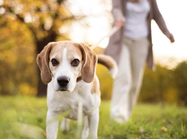 Woman walking beagle