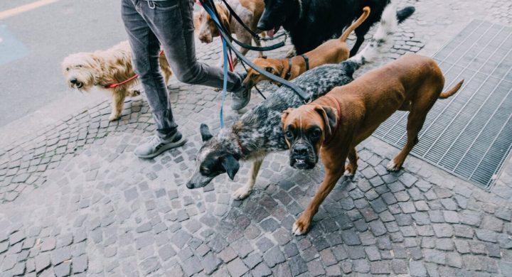 Make money dog walking