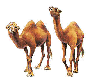 Like Camels currencies can have one hump or two.