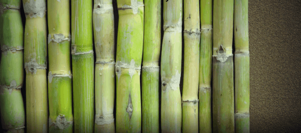 Picture of sugar cane stalks
