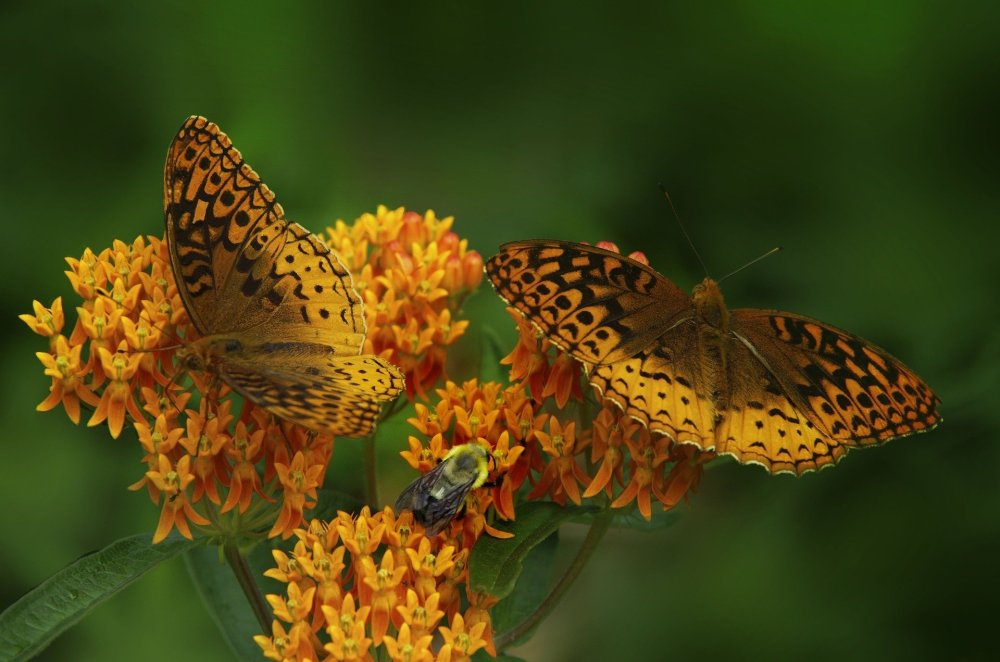 Butterfly on butterfly weed flowers.