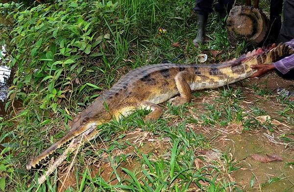 Image result for Tomistoma schlegelii ( Buaya sapit/senyulong )