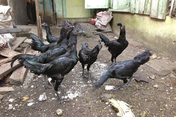 Ayam Cemani Harga Selangit dan Dibunuh Hanya Garagara