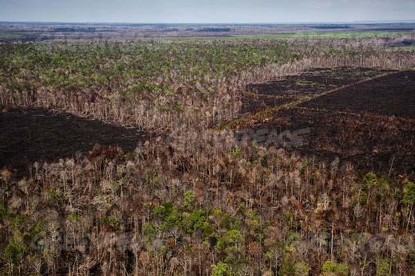 Hutan gambut di konsesi  PT Sumatra Riang Lestari (PT SRL), yang baru saja dibabat.  Perusahaan ini pemasok ke APRIL.  © Ulet Ifansasti / Greenpeace