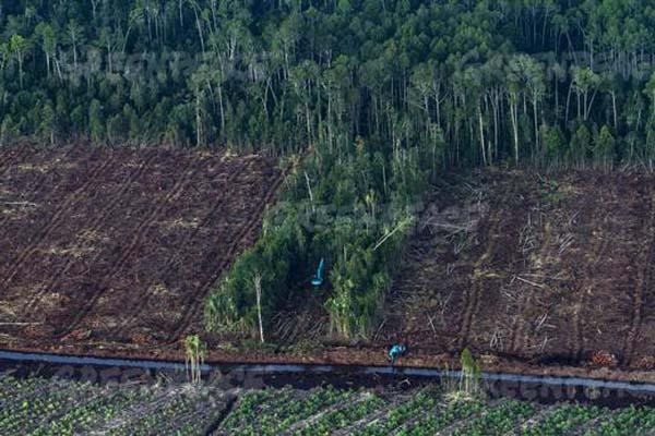Pembabatan hutan lahan gambut yang masih berlangsung dalam konsesi  PT. Riau Andalan Pulp & Paper (PT RAPP)di  Pulau Padang, Riau. © Ulet Ifansasti / Greenpeace