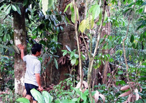 Darmadi (44), warga Desa Petebang Jaya menunjukkan kebun buah di halaman belakang kediamannya. Foto: Andi Fachrizal
