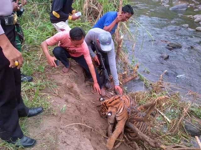 Harimau Ditembak Mati Puncak Gunung Es Persoalan