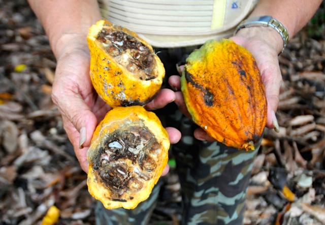 Teror Hama Ini Hancurkan Masa Keemasan Petani Kakao Luwu