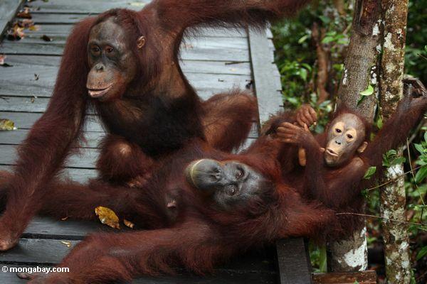 Family of orangs laying on boardwalk (Kalimantan, Borneo (Indonesian Borneo))