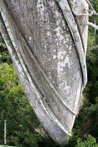 Stranger fig roots wrapped around Kapok tree