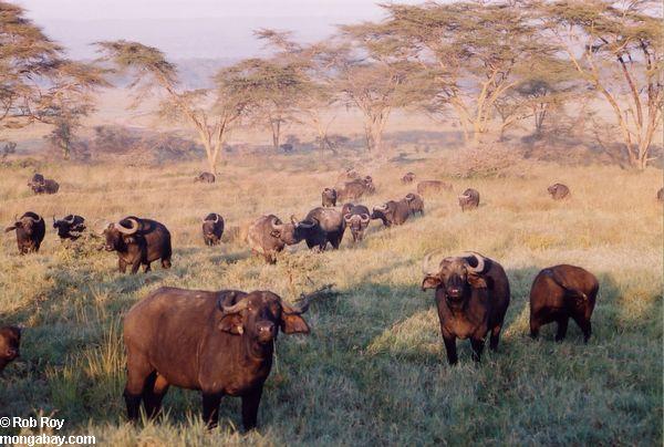 https://i0.wp.com/www.mongabay.com/images/rob_roy/africa/buffalo_01.jpg