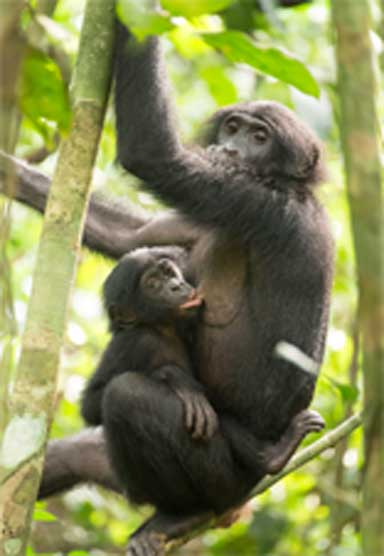 Bonobo mother and offspring in the canopy. Photo by Takeshi Furuichi