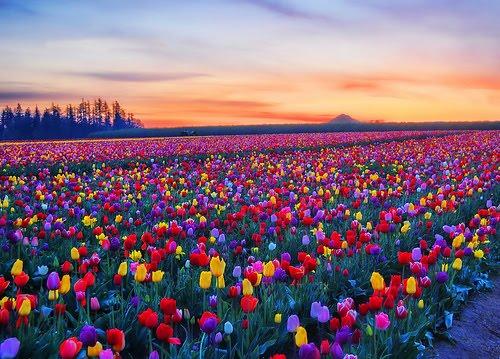 Tulip Sunset, Skagit, Washington