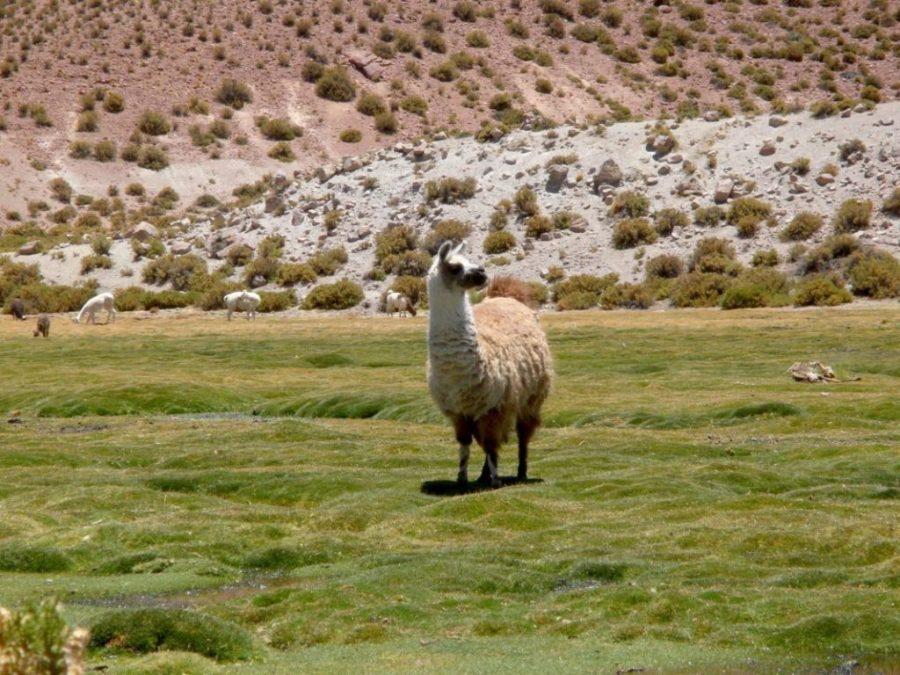 Atacama, animals