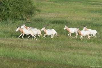 CHAD: Corriendo libre. La Agencia de Medio Ambiente de Abu Dabi, el gobierno de Chad y el Fondo de Conservación del Sáhara liberó la primera manada de oryx blancos de vuelta a su medio natural de donde se habían extinguido hace más de 30 años.