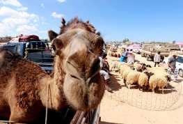 TRÍPOLO, LIBIA: La gente se prepara para la Fiesta del Cordero.