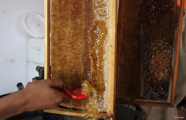 GAZA: Sólo BEE feliz. Los apicultores palestinos recolectan miel en una granja de abejas en el campo de refugiados de Bureij.