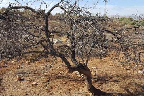 Los colonos israelíes cortaron 50 olivos en la Cisjordania ocupada