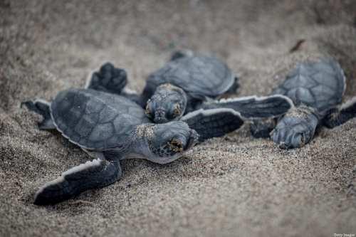 Una playa de Turquía celebra la llegada de tortugas marinas…
