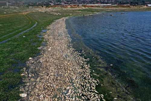 40 toneladas de peces muertos arrastrados a la orilla de…