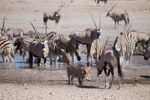 Warzenschwein gegen Oryx?
