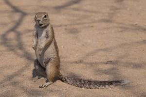 Erdhörnchen wissen, dass es bei den Campern oft etwas fressbares übrig hat.