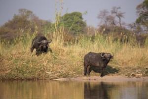 Am Ufer sehen wir Wasserbüffel.