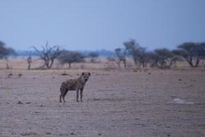 Morgens um 6 Uhr am Wasserloch im Nxai-NP beäugt uns eine Hyäne.