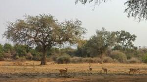 Wir fahren in den Lower Zambezi NP und sehen Antilopen (Impalas), ...