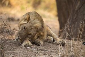 ...und den Löwen hätten wir fast übersehen. Lower Zambezi NP.