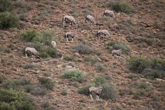 Oryx-Antilopen im Karoo-NP.