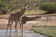 Der gestrige Regen hat viele Wege geflutet. Zur Freude der Giraffen.