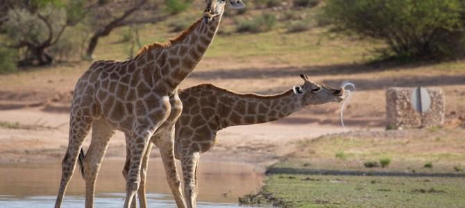 Kgalagadi Nationalpark – Namibia, Botswana und Südafrika zugleich