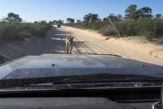 Die Löwin läuft gerade auf uns zu. Wir kurbeln schon mal die Scheiben hoch. Will sie uns angreifen? Nein, sie läuft einfach rechts am Auto vorbei.