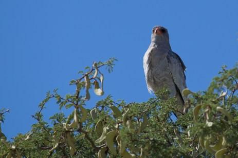 Hier schaut ein Grosser Singhabicht von einem Kameldornbaum auf uns herunter.
